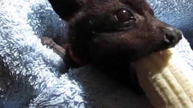 Morcego Comendo Banana, Alguém Mais Gostaria De Ter Um Animal Desse?