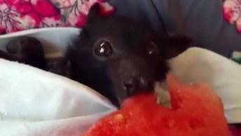 Morcego Comendo Um Pedaço De Melancia, Veja Como Sã Fofinhos De Perto!