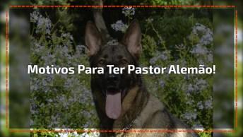 Motivos Que Fazem Você Querer Ter Um Ou Mais Cachorros Da Raça Pastor Alemão!