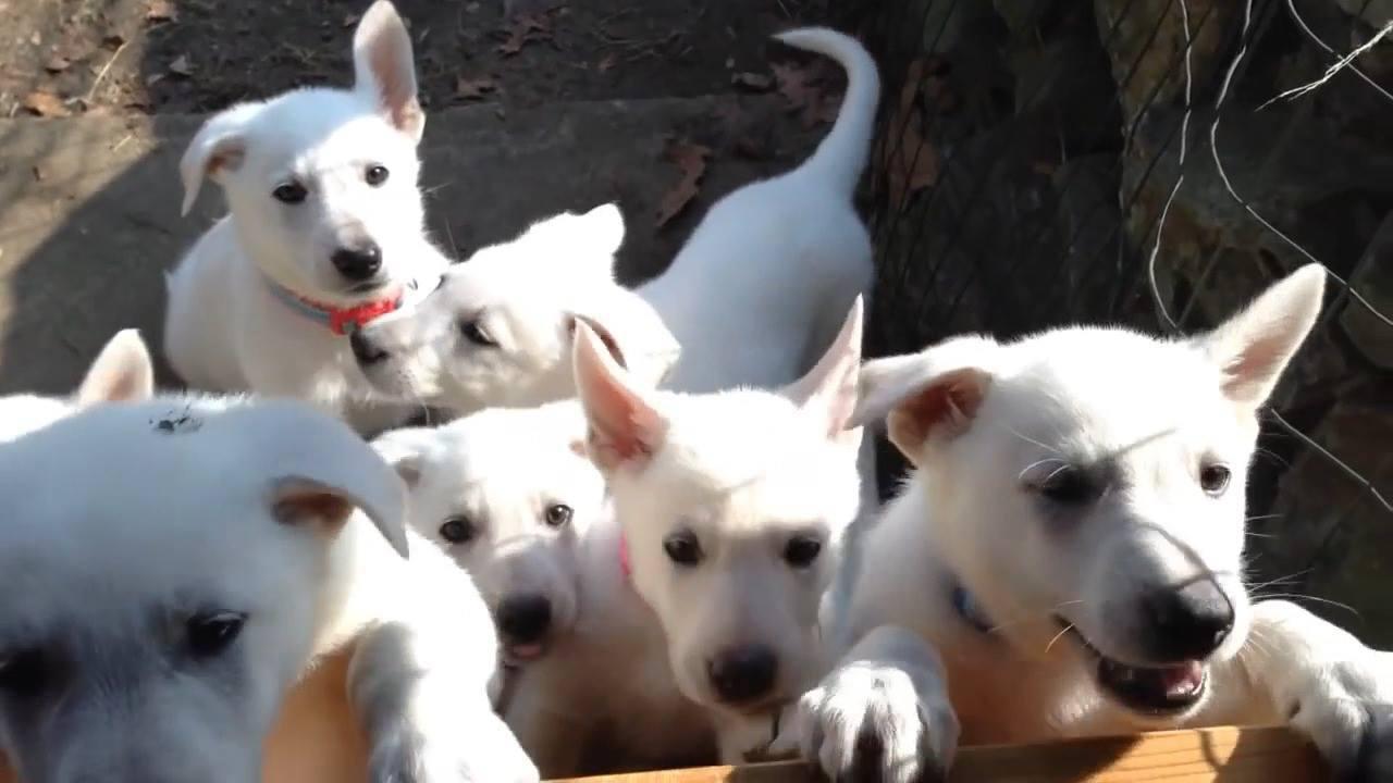 Muitos filhotes de cachorrinhos, todos são brancos e lindos, confira!