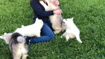 Mulher Sendo Atacada Por Filhotes De Husky Siberianos! , Olha Só Que Fofos!