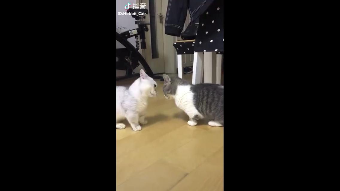 Munchkin a raça de gatinho mais fofa que você vai ver hoje