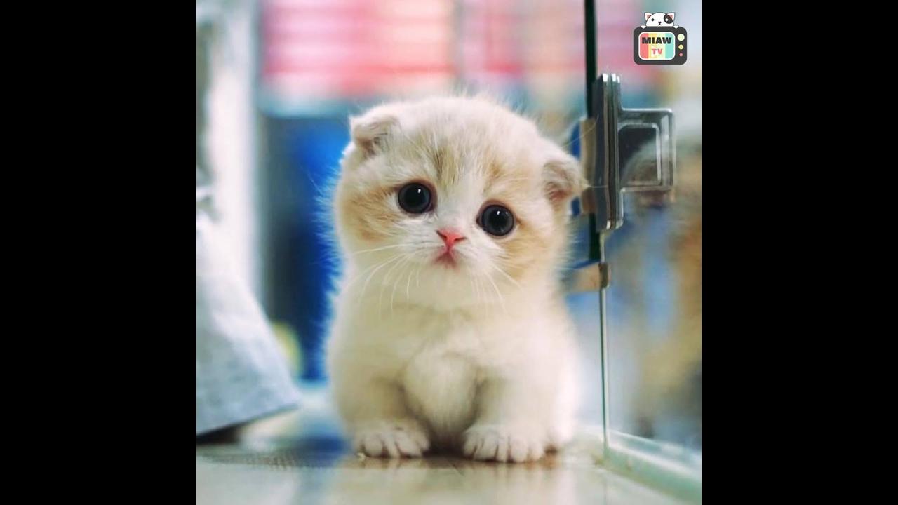 Munchkin - Uma raça de gatos com as patas curtas super adorável!