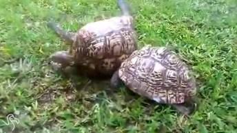 Não Acreditei Quando Vi Pela Primeira Vez! Como São Companheiras As Tartarugas!