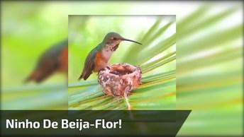 Ninho De Beija-Flor Com Mamãe Alimentando Os Filhotes, Veja Que Lindo!