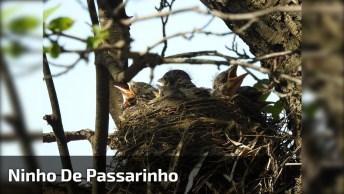 Ninho De Passarinho Com Filhotes Esperando Mamãe Alimenta-Los, Que Lindo!