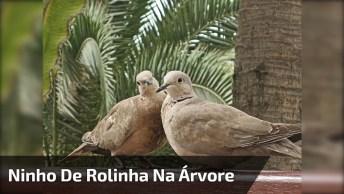 Ninho De Rolinha Em Um Pé De Pitanga, O Milagre Da Vida Na Natureza!