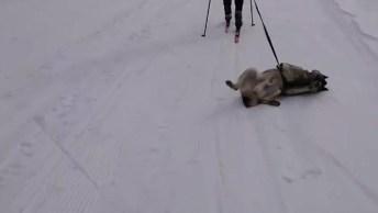 Nova Modalidade De Esquiar Com Cachorro, Olha Só Que Legal!