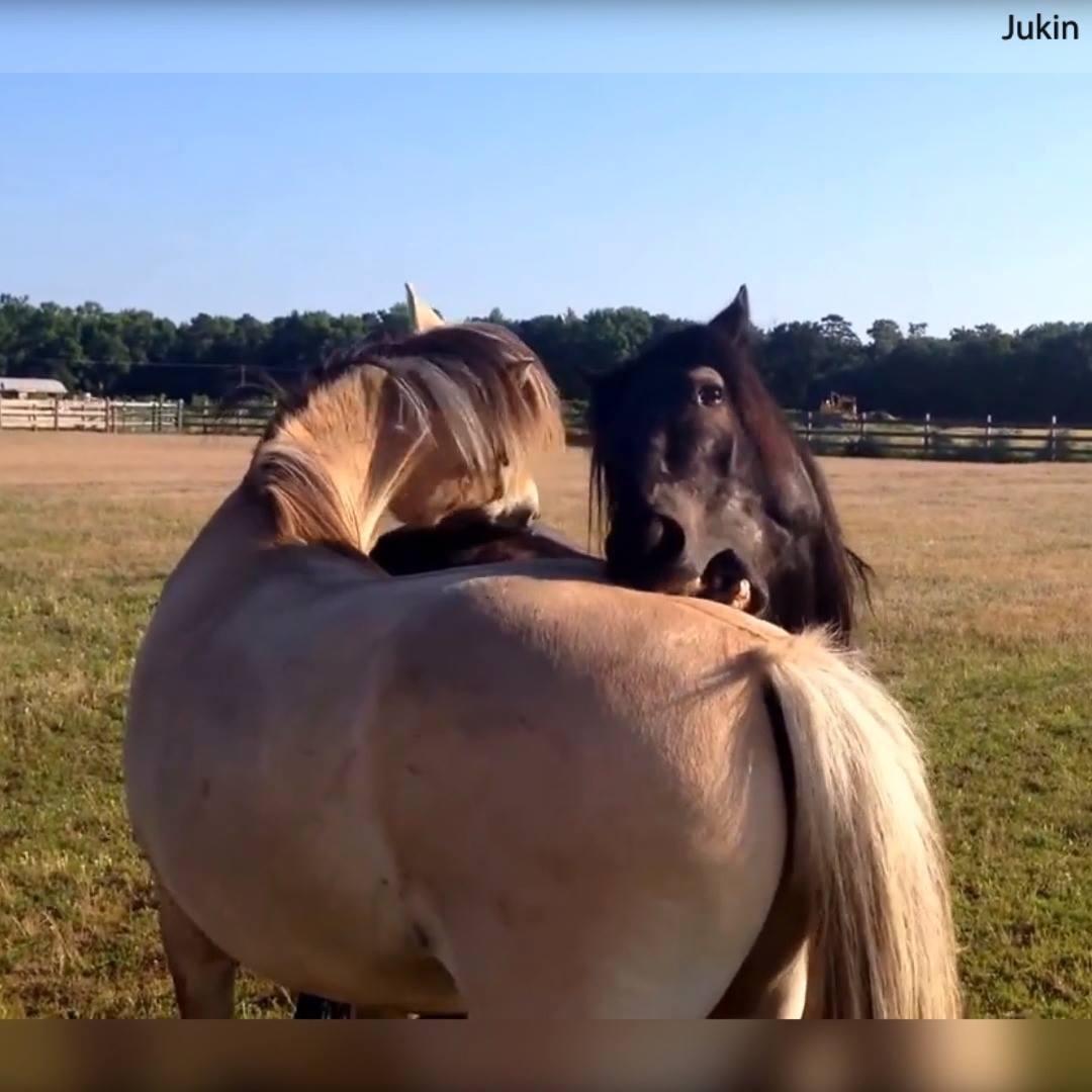 O Amor Esta No Ar Para Esse Casal De Cavalos Quanto Carinho