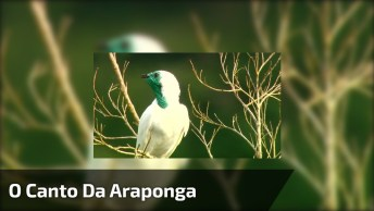 O Canto Da Araponga, Um Pássaro Interessante Da Natureza!