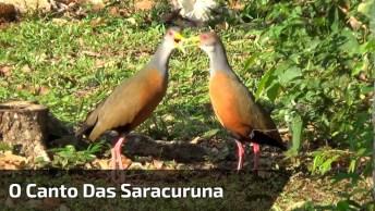 O Canto Das Saracuruna, Mais Uma Criação Linda Da Natureza!