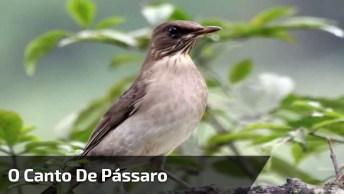 O Canto De Pássaro Mais Apaixonante Do Dia, Para Desejar Bom Dia!
