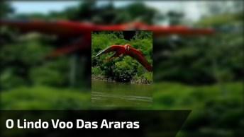 O Lindo Voo Das Araras Vermelhas, Um Dos Mais Belos Animais Da Floresta!