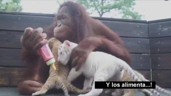 O Mundo Animal E Suas Curiosidades, Veja O Bebês Adotivos Dessa Orangotango!