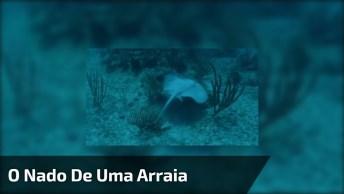 O Nado De Uma Arraia, Para Quem Ama Observar Animais Aquáticos!