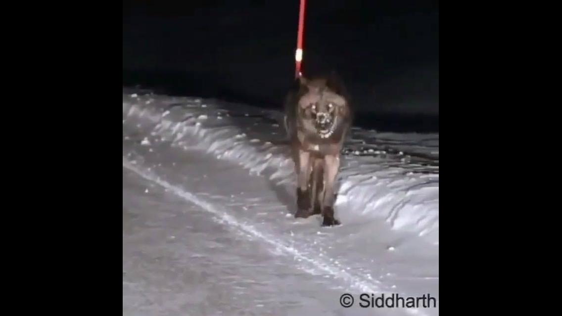 O que você faria se deparasse com um animal desse na estrada