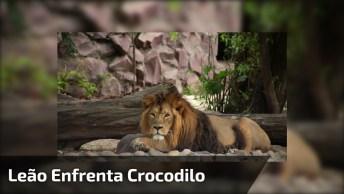 O Rei Da Selva Colocando Um Crocodilo Para Correr, Impressionante!