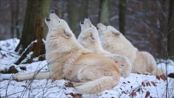 O Som Dos Lobos Brancos Na Floresta Com Gelo, Lindo Som Que Eles Fazem.