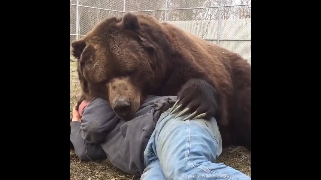 O verdadeiro abraço de urso
