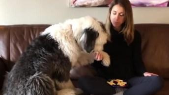Old English Sheepdog Não Deixa Sua Dona Comer Olha Só Que Fofinho!