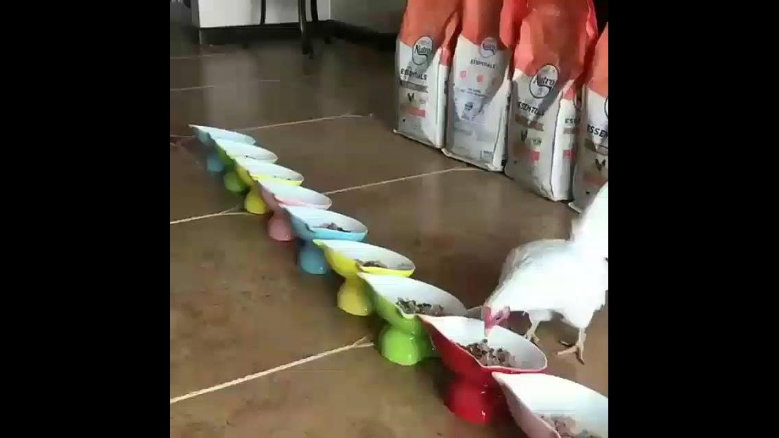 Olha quantos gatos na hora do almoço, tem um cachorro e uma galinha junto!