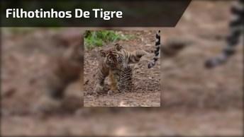 Olha Só Quanta Fofura Nestes Filhotinhos De Tigre, É Muito Linda Nossa Natureza!