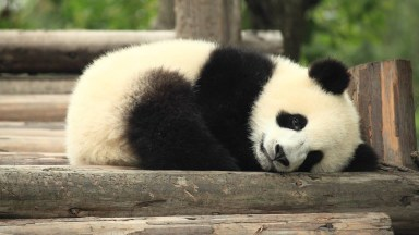 Olha Só Que Fofura Esse Filhote De Urso Panda, Como Eles São Carentes!
