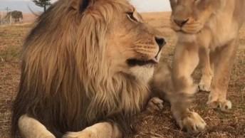 Onça Esfregando Em Seu Leão, Que Cena Mais Linda Entre Felinos Selvagens!