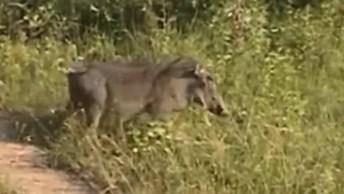 Onça Pintada Na Caça De Um Porco Selvagem, É A Lei Da Selva!