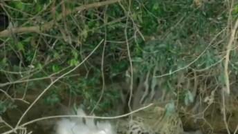 Onça Pintada Pegando Um Jacaré Enorme, Confira A Coragem Desse Animal!