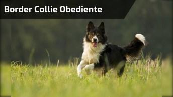 Os Border Collie São Os Cães Mais Inteligentes E Obedientes Que Existem!