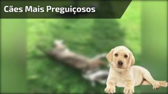 Os Cachorros Mais Preguiçosos Do Mundo, Mais Um Vídeo Engraçado!