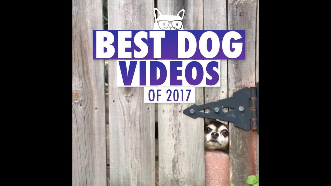 Os melhores vídeos de cachorros de 2017