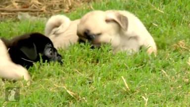 Os Pugs Mais Fofos Que Você Vai Ver Hoje, Que Filhotes Lindos!