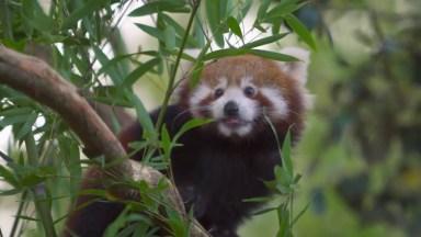 Panda Vermelho, Uma Especie Super Fofa De Animal Confira!