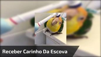 Papagaio Adora Receber Carinho Da Escova Elétrica De Dentes, Olha Só A Carinha!