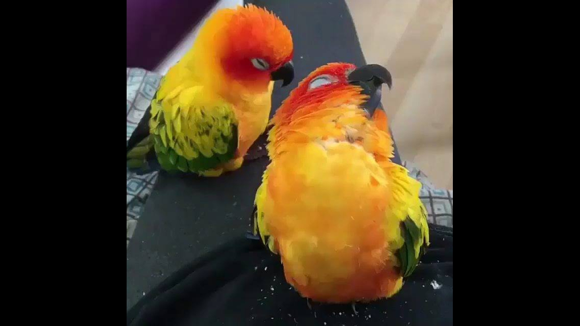 Papagaio tirando um cochilo na perna de sua dona, olha só que fofinhos!!!