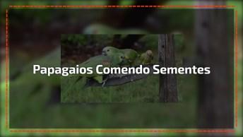 Papagaios Comendo Sementes Em Alimentador De Pássaros, Veja Que Lindos!