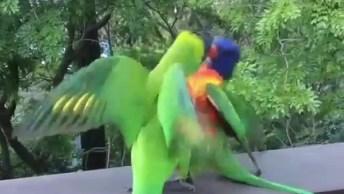 Papagaios Querendo Brigar, E Cacatua Os Separa, Veja Que Engraçadinho!