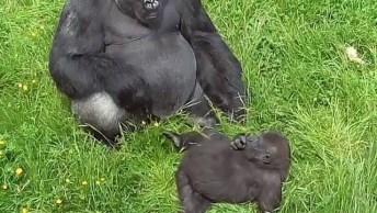 Papai Gorila Tentando Dormir E O Filhote Tentando Incomodar Hahaha!