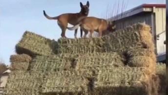 Para Esses Cachorros, Não Existem Limites, Veja Como São Treinados!
