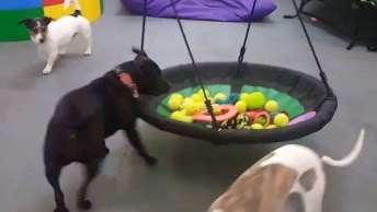 Parque De Diversão Para Cães, Olha Só Que Legal, Tem Até Piscina De Bolinha!