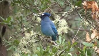 Passarinho Azul Com Crista, Ele É Muito Lindo E Diferente, Confira!