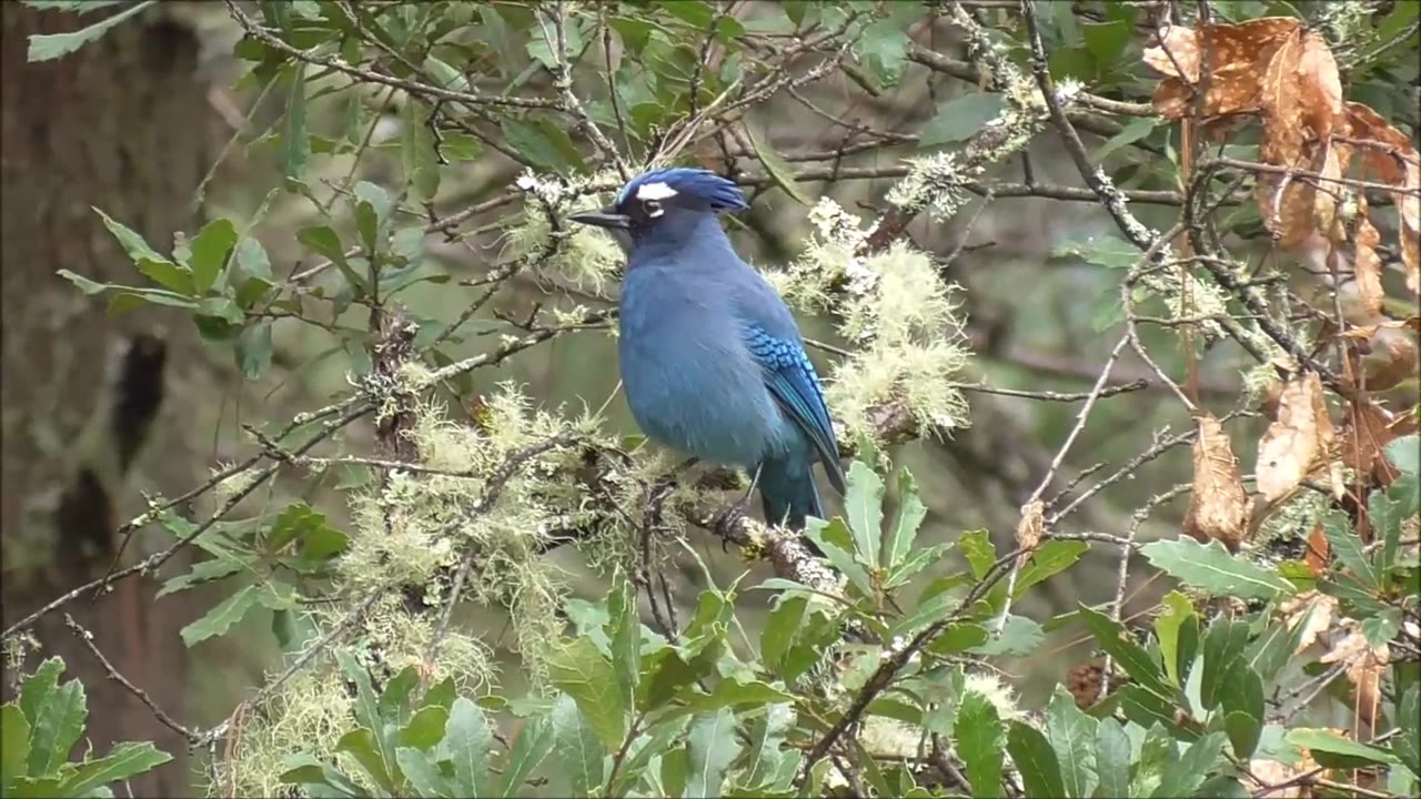 Passarinho azul lindo, sentado em uma arvore