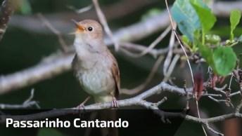 Passarinho Cantando Na Natureza, Veja Que Lindos Sons, Simplesmente Incrível!