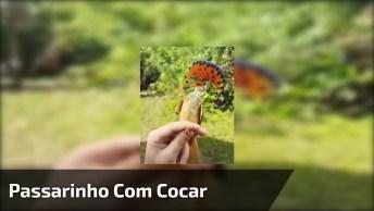 Passarinho Com Cocar Laranja, Olha Só Os Detalhes Deste Incrível Animal!