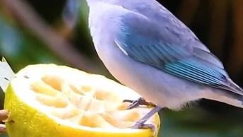 Passarinho Comendo Laranja Em Galho De Árvore, Veja Que Coisa Mais Linda!