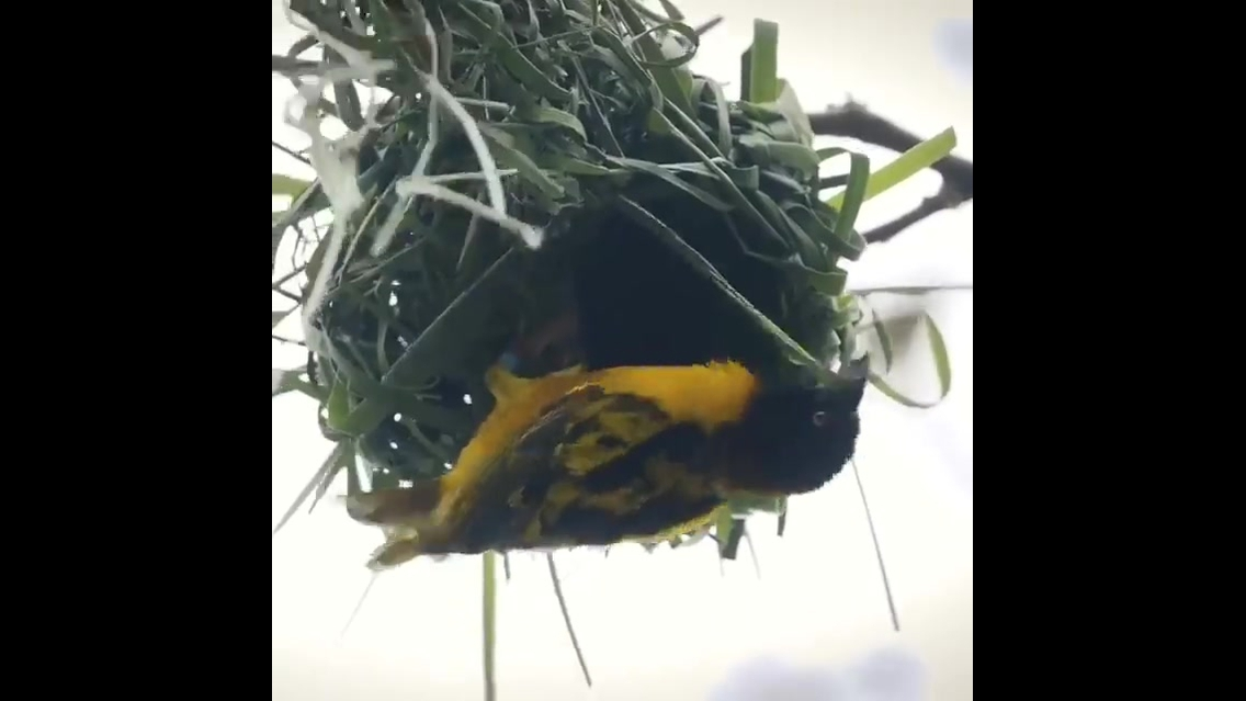 Passarinho construindo seu ninho