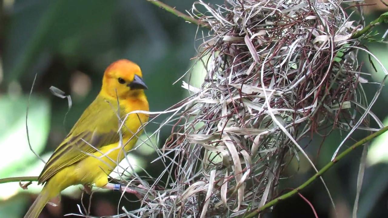 Passarinho fazendo ninho