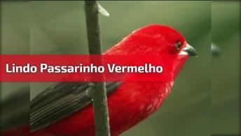 Passarinho Vermelho Com Detalhes Azul E Lilás, Ele É Muito Lindo!